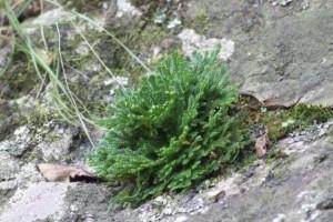 山上的1种还魂草叶片枯萎却活着种花盆里价值高