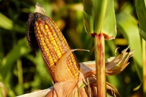 草莓玉米是转基因食物吗认清草莓玉米的营养价值